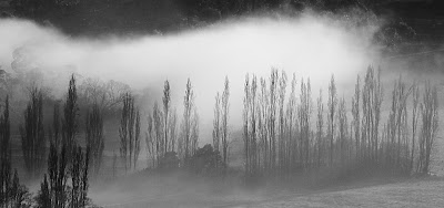 Poplars in the mist, Huonville - 17 June 2007