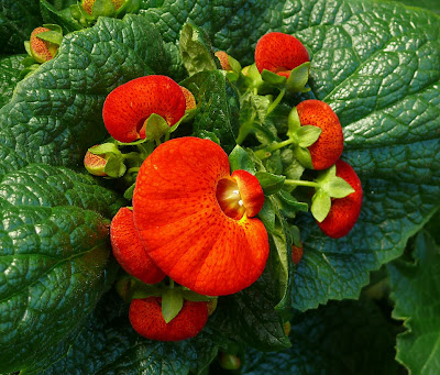 Calceolaria, 'Ladies Purses', Royal Tasmanian Botanical Gardens - 26 Aug 2007