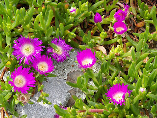 Carpobrotus rossii, Native Pigface, Mt Brown Track - 25th October 2008