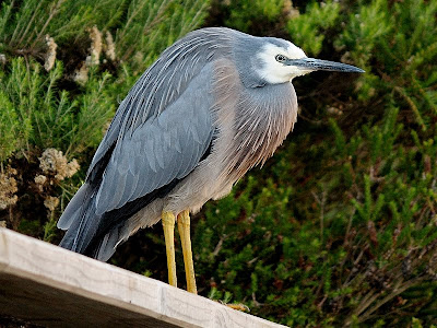 White-Faced Heron (Egretta novaeholandiae), Franklin, Tasmania - 15th May 2010