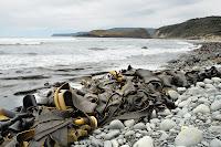 Kelp and Lion Rock, South Cape Bay - 7th November 2010