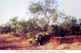 Flora tipica matorral mezquite