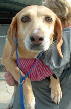 Virginia~ ADOPTED ~ Houndog Yellow Lab Mix, Elizabethtown, N. C.