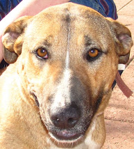 Tasha Female Adult Bull Terrier Mix~ ADOPTED 7-28-10~ Trinidad, CO ~ Adopt A Dog On Death Row!!!
