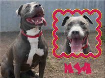 Maya~Female Pitt Bull Terrier~ West Los Angeles Animal Care and Control Center (888) 452-7381
