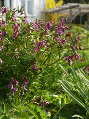 Lathyrus vernus - vårerteknapp