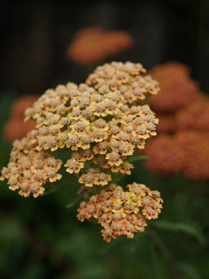 Achillea millefolium - ryllik