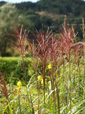 Miscanthus sinensis &#39;Rotfeder&#39;