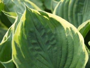 Hosta - bladlilje