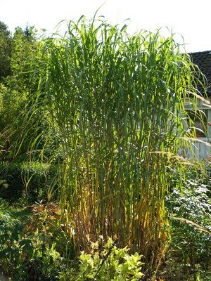 Miscanthus sinensis - elefantgrass