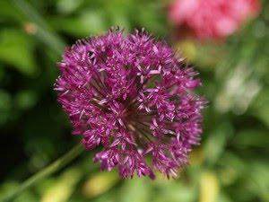 Allium - prydløk