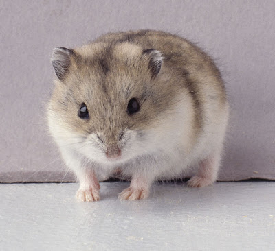 name hamster winter white other names siberian dwarf hamster dwarf ...
