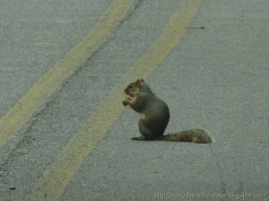 ... Everyday Adventurer: Squirrel On The Road