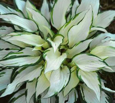 Never Enough Time: Night Before Christmas and White Christmas Hostas