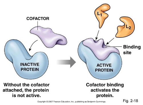 Coenzymes are the same as banal proteins
