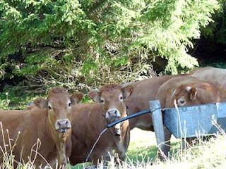 放牧された牛達
