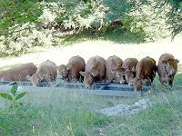 マシレ高原の放牧された牛
