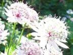 ヴェルコール地方の夏のランドネでみた花