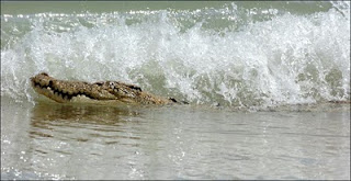 surfing crocodile
