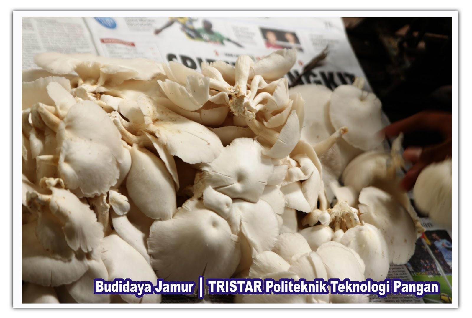 Jamur tiram merupakan jenis jamur yang telah banyak dibudidayakan