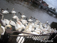 Swans in Thames