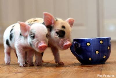 mikroświnki, mikroświnka, świnka miniaturowa