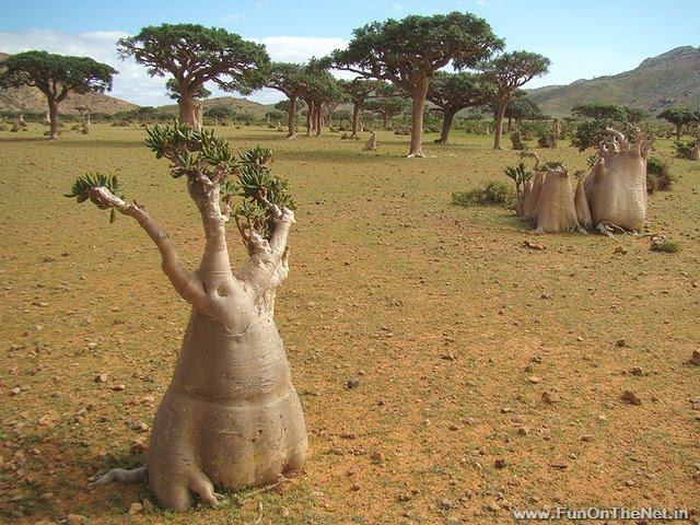 [Image: Socotra+dorstenia.jpg]