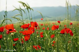Դաշտային ծաղիկներ