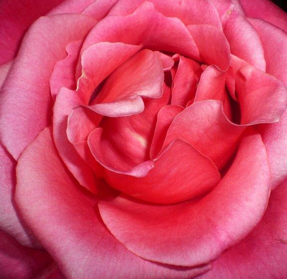 [rosa]