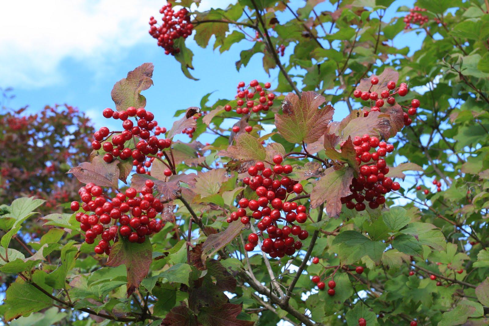 Giftige bær i skogen