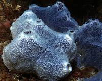An Amphimedon sea-sponge of Phylum Porifera.