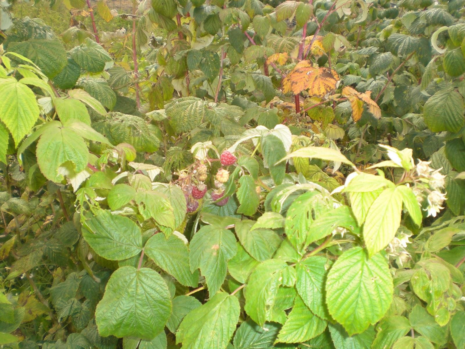 Raspberry Farming