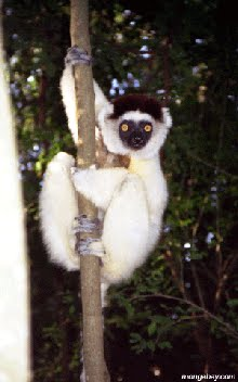 WHAT KIND OF COTON IS THAT???It's a Verreaux's Sifaka Lemur from Madagascar!