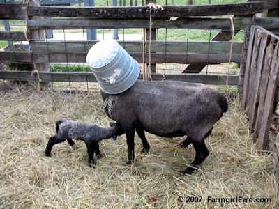 Sheep with bucket