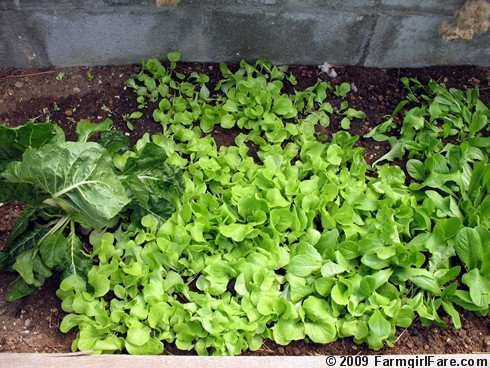 In my kitchen garden direct seeding lettuce in the garden and how to thin lettuce seedlings by for How to pick lettuce from garden