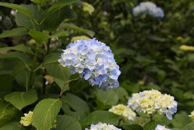 紫陽花,あじさい寺,本光寺,幸田町