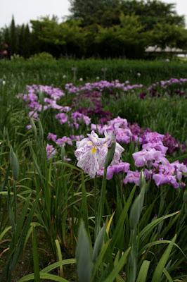 花菖蒲(Iris ensata var. ensata),あじさい・花しょうぶまつり(5月下旬~7月4日),なばなの里