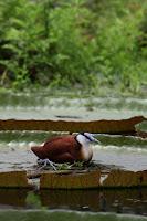 オオオニバス,アフリカレンカク,スイレンプール,掛川花鳥園