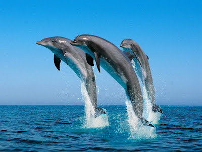 Jumping Dolphins · courtesy of www.ManyFreeWallpapers.com