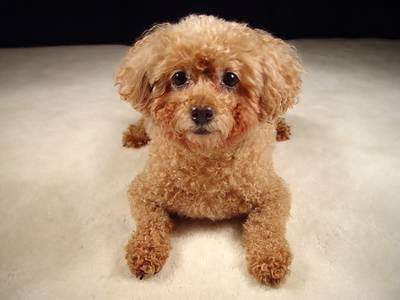 this is toy poodle toy poodle is the one that can t grow up which till ...