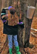 Great Maple Syrup Harvest In New Hartford, NY