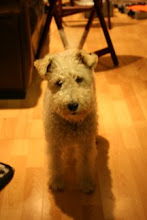 Abby - Wire Fox Terrier