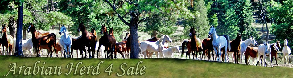 ArabianHerd4Sale