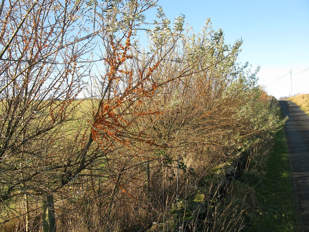 Islay natural history trust sea buckthorn - Growing sea buckthorn ...