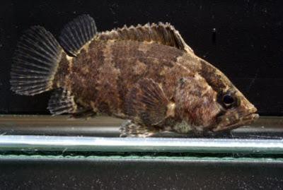 IKAN HIAS AIR TAWAR Ikan%20musi