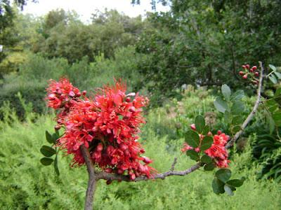 Drzewo weeping boer bean spotkany w Parku Krugera, RPA