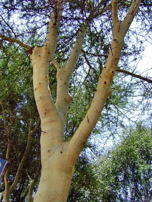 Pień drzewa fever tree pokryty żółtym pudrem