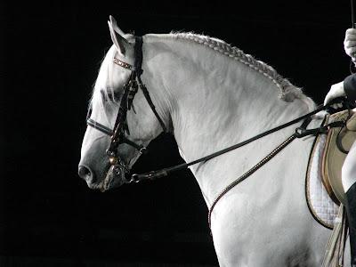 Липицански кон Lipizzaner+Stallions+2008+046