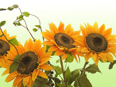 sunflower pictures