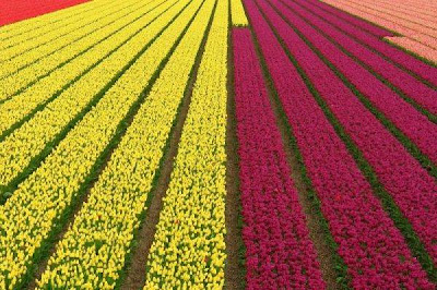 Tulip fields Netherlands